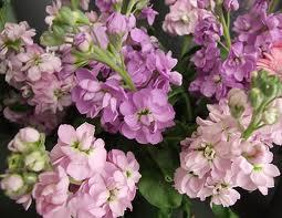 Sommerblomster lilla lyserød